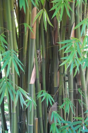 a grove of bamboo