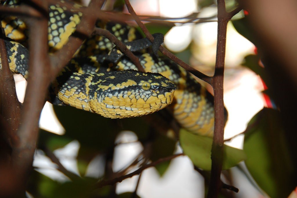 poisonous viper in a tree